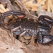 Western Forest Scorpion - Photo (c) Marshal Hedin, some rights reserved (CC BY-NC-SA)