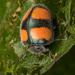 Toxotoma flavofasciata - Photo (c) Jose Rui Santos, some rights reserved (CC BY-NC)