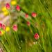 Bongardia chrysogonum - Photo (c) Shahrzad Fattahi, algunos derechos reservados (CC BY-NC)