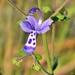 Trichostema dichotomum - Photo (c) Bob Peterson, algunos derechos reservados (CC BY-NC-SA)