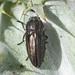Sphenoptera rauca - Photo (c) fotis-samaritakis, osa oikeuksista pidätetään (CC BY-NC)