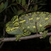 African Chameleon - Photo (c) ottob-c, some rights reserved (CC BY-NC)