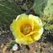 Opuntia engelmannii flavispina - Photo (c) rpmundo, algunos derechos reservados (CC BY-NC)