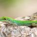 Mahé Day Gecko - Photo (c) Jiri Hodecek, some rights reserved (CC BY-NC)