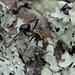 Polyrhachis semiaurata - Photo (c) Max Campbell, algunos derechos reservados (CC BY-NC)
