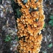 Stereum complicatum - Photo (c) Gordon Walker, μερικά δικαιώματα διατηρούνται (CC BY-NC)