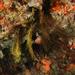 Comanthus novaezealandiae - Photo (c) lcolmer, algunos derechos reservados (CC BY-NC)