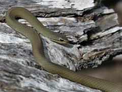 White-lipped Snake