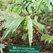 Microsorum membranifolium - Photo (c) Arini Siti Muharomah_192154061,  זכויות יוצרים חלקיות (CC BY-NC)
