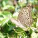 Junonia atlites atlites - Photo (c) Tan Kok Hui, algunos derechos reservados (CC BY-NC)