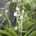 Angraecum longicalcar - Photo (c) tiana123, algunos derechos reservados (CC BY-NC), uploaded by Tiana Randriamboavonjy