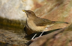 Clay-colored Thrush - Photo (c) Christopher Lindsey, some rights reserved (CC BY-NC)