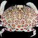 Aethridae - Photo (c) Bernadette, algunos derechos reservados (CC BY-NC)