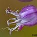 Allium bourgeaui creticum - Photo (c) fotis-samaritakis, osa oikeuksista pidätetään (CC BY-NC)