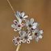 Allium callimischon haemostictum - Photo (c) fotis-samaritakis, osa oikeuksista pidätetään (CC BY-NC)