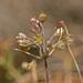 Allium tardans - Photo (c) fotis-samaritakis, osa oikeuksista pidätetään (CC BY-NC)