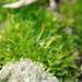 Tortula viridifolia - Photo (c) georgeg, algunos derechos reservados (CC BY-NC)