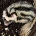 Pygmy Spotted Skunk - Photo (c) Cheryl Harleston López Espino, some rights reserved (CC BY-NC-ND)
