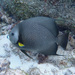 Pomacanthus arcuatus - Photo Δεν διατηρούνται δικαιώματα