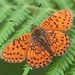 Twin-spot Fritillary - Photo (c) Kostas Zontanos, some rights reserved (CC BY-NC)