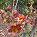 Scrophularia calliantha - Photo (c) javiercasadocuyas, algunos derechos reservados (CC BY-NC)