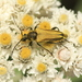 Yellow Velvet Beetle - Photo (c) Zach Hawn, some rights reserved (CC BY-NC-SA)