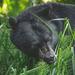 Haida Gwaii Black Bear - Photo (c) Emma, some rights reserved (CC BY-NC)