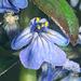 Ajugoideae - Photo (c) Phil Bendle, algunos derechos reservados (CC BY-NC)