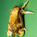 Acharia fuscoflava - Photo (c) David Monroy R, algunos derechos reservados (CC BY-NC)