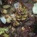 Sonderophycus coriaceus - Photo (c) Wayne Martin, alguns direitos reservados (CC BY-NC)