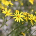 Narrow-leaved Ragwort - Photo (c) Fabien Piednoir, some rights reserved (CC BY-SA)