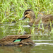 Island Black Duck - Photo (c) desertnaturalist, some rights reserved (CC BY)