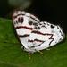 Euselasia labdacus - Photo (c) Ken Kertell, μερικά δικαιώματα διατηρούνται (CC BY-NC)