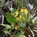 Oncidium cultratum - Photo (c) practicacampoiemelsocorro, algunos derechos reservados (CC BY-NC)