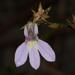 Lobelia nuttallii - Photo (c) Judy Gallagher, μερικά δικαιώματα διατηρούνται (CC BY), uploaded by Judy Gallagher