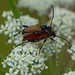 Anastrangalia sanguinolenta - Photo (c) Kostas Zontanos, algunos derechos reservados (CC BY-NC)