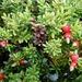 Podocarpus nivalis - Photo (c) Jon Sullivan, algunos derechos reservados (CC BY-NC)