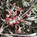 Cladonia cristatella - Photo (c) Susan J. Hewitt,  זכויות יוצרים חלקיות (CC BY-NC)