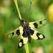 Libelloides macaronius - Photo (c) Kostas Zontanos, some rights reserved (CC BY-NC)