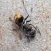 Polyrhachis aurea - Photo (c) Nigel Main, algunos derechos reservados (CC BY)