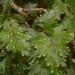 Hymenophyllum flabellatum - Photo (c) Mike Lusk, osa oikeuksista pidätetään (CC BY-NC)