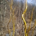 Curly Willow - Photo (c) michellewirth, some rights reserved (CC BY-NC)
