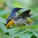 Picaflores Ventrinaranja - Photo (c) Tan Kok Hui, algunos derechos reservados (CC BY-NC)
