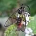 Argyroeides ophion - Photo (c) Douglas, algunos derechos reservados (CC BY)