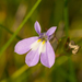 Lobelia kalmii - Photo (c) Joshua Mayer, algunos derechos reservados (CC BY-SA)