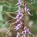 Himantoglossum - Photo (c) Kostas Zontanos, algunos derechos reservados (CC BY-NC)