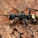 Polyrhachis erato - Photo (c) Mark Ayers, some rights reserved (CC BY-NC)