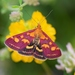 Common Crimson-and-gold Moth - Photo (c) Kostas Zontanos, some rights reserved (CC BY-NC)
