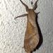 Hampsoniella - Photo (c) Oscar Enciso, μερικά δικαιώματα διατηρούνται (CC BY-NC)