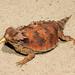 Camaleón de la Isla de Cedros - Photo (c) Travis W. Reeder, algunos derechos reservados (CC BY-NC)
